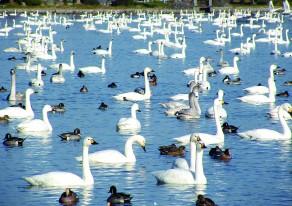かわいい白鳥がいっぱい! 阿賀野市の名所へちょこっとドライブ