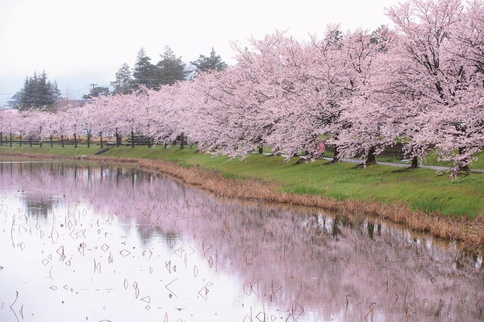 「日本三大夜桜」高田城址公園の桜とおしゃれショップをめぐる上越高田ドライブ